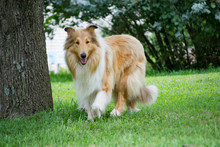Rough Collie On The Farm In Mi...