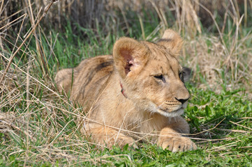 Obraz na płótnie Canvas African  Lion cub