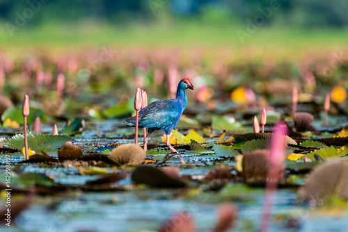 Aluminium Prints Railroad Purple Swamphen in wetlands Thale Noi, one of the country's largest wetlands covering Phatthalung, Nakhon Si Thammarat and Songkhla ,South of THAILAND.