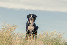 Bernese Mountain Dog In The Gr...