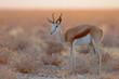Springbock im Morgenlicht, Etosha Nationalpark, Namibia
