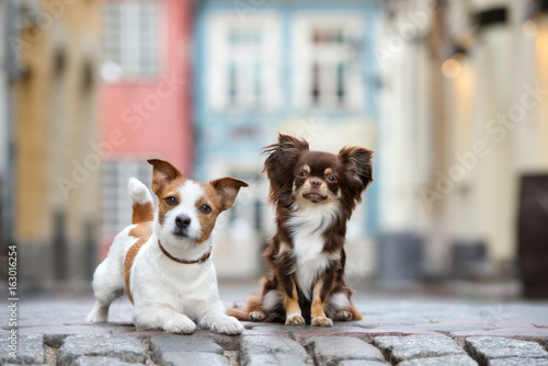 Obraz jack russell terrier and chihuahua posing together - fototapety do salonu
