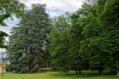 Fotografie, Obraz  Séquoia géant et sapin