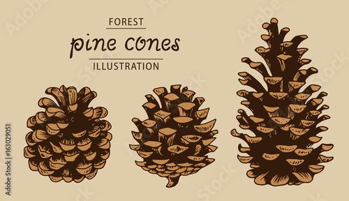 Obraz Pine cones vector set, botanical hand drawn illustration, isolated xmas pine cones - fototapety do salonu