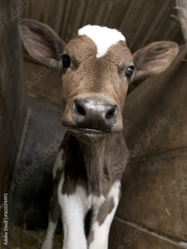 Tableau sur Toile The cutest calf ever stands in a barn as it poses for the picture