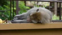 Monkey Eat Food And Sleep In T...