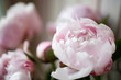 canvas print picture Pink peony