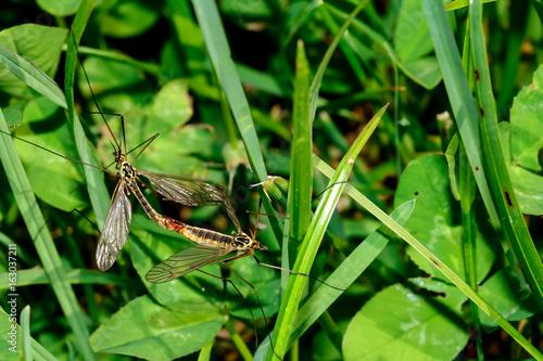 Fototapeta Krähenschnaken bei der Paarung, Nephrotoma quadrifaria