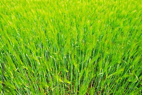 Papiers peints Vert chaux champ de blé en gros plan