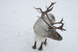 A reindeer with enormous antlers is standing in the snow.