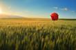 barley field with poppy