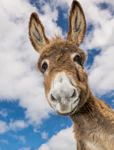 Portrait Of A Funny Looking Cute Fluffy Donkey