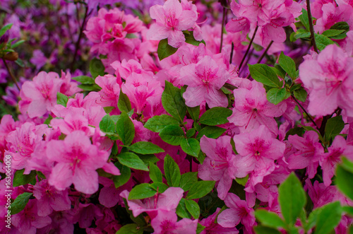 Tuinposter Azalea Group of Pink Frangipani isolated on White