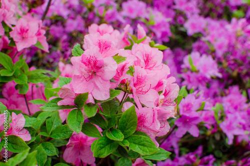 Tuinposter Azalea Group of Pink Frangipani isolated on White