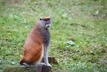 Patas Monkey Also Known Hussar...