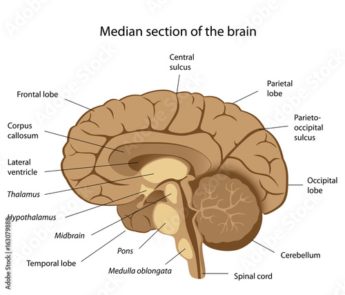 Human Brain Anatomy Labeled Buy This Stock Illustration And