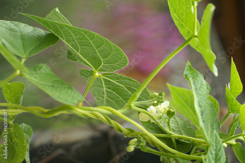 The climbing plant tender white flower and green leaf buy this the climbing plant tender white flower and green leaf mightylinksfo