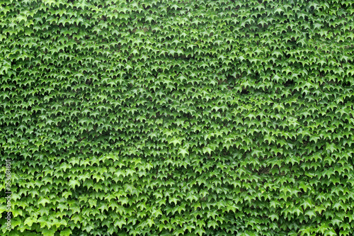sciana-lisci-winorosli-pelne-zielone-tekstury-tla-ogrod-charakter-lisci-wzor