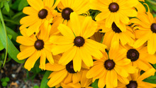 Flowering Yellow Daisies In Th...