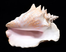 Large Pink Queen Conch Seashel...