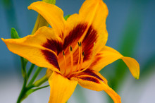 A Single Brightly Colored Yellow And Dark Orange Daylily With Pollen Covered Stamen