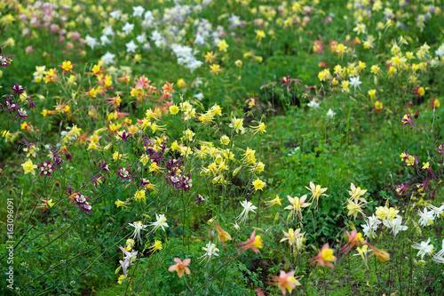 Valokuva Fields of colorful columbine flowers (aquilegia)
