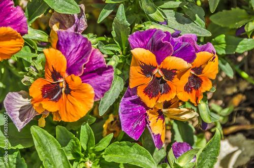 Pansies Orange and Purple Pansies