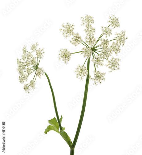 Angelica archangelica flowers Fototapet