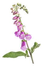 Digitalis Flowers. Isolated On...