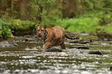 Fototapeta na wymiar The Siberian tiger (Amur tiger - Panthera tigris altaica) in his natural environment in the river in beautiful country
