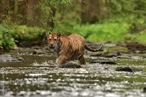 Obrazy na płótnie Canvas The Siberian tiger (Amur tiger - Panthera tigris altaica) in his natural environment in the river in beautiful country