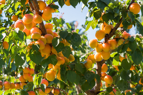 Fresh and ripe apricots on the branch