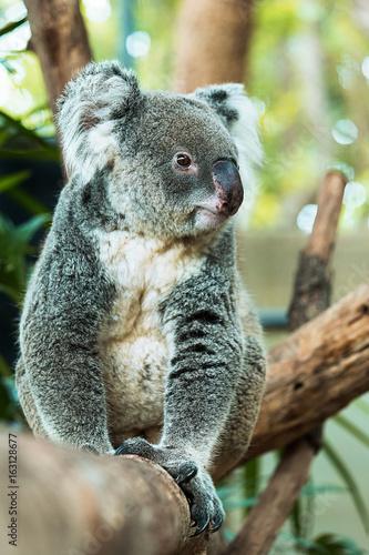 Garden Poster Koala Lazy Koara on Tree