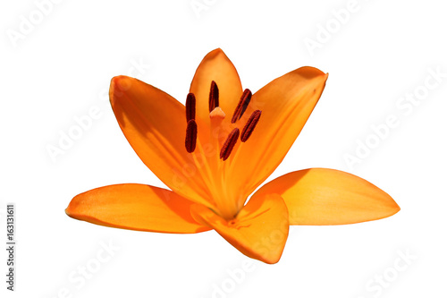 Asiatic hybrid lily 'Apeldoorn' one orange flower isolated on white Wallpaper Mural