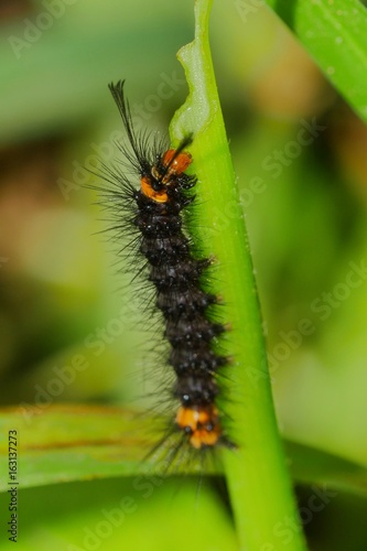 Black Caterpillar with an Orange Head and Spikes Eating a