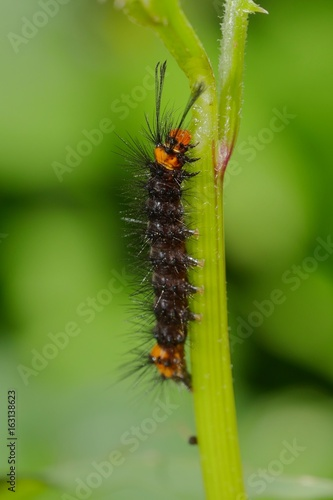Black Caterpillar with an Orange Head and Spikes Eating