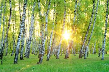 Fototapeta Wschód / zachód słońca Birch Grove. early morning. The rising sun through the trees. Ukraine