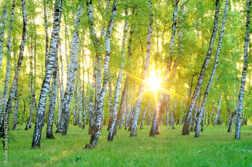 Birch Grove. early morning. The rising sun through the trees. Ukraine