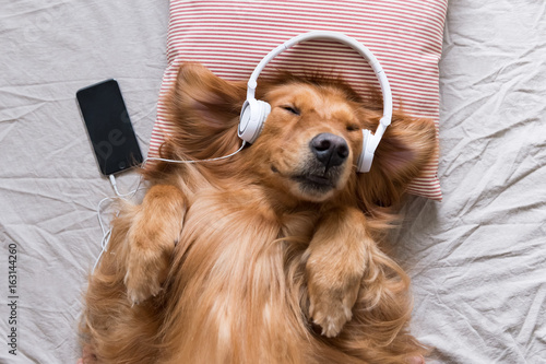Fotografia  The Golden Retriever wearing headphones listening to music