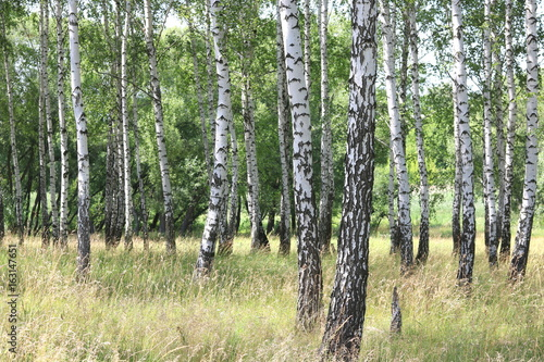 Printed kitchen splashbacks Birch Grove Beautiful white birches in summer in birch grove
