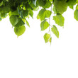 Fresh green tree leaves over white background