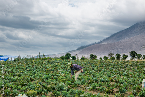 Poster Volcano SINABUNG VOLCANO, SUMATRA, INDONESIA - September 28, 2016: Unidentified woman farmer ignores the volcano eruption and continues her work. Eruption of Sinabung killed several people in recent years