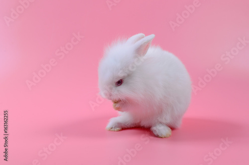 White Fluffy Bunny On Pink Background Story For Playboy Rabbit Can Breed All The Time Buy This Stock Photo And Explore Similar Images At Adobe Stock Adobe Stock