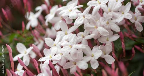 Fotografie, Obraz  Pink Jasmine (aka White Jasmine) - Jasminum polyanthum, in bloom