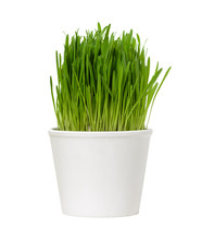 Green Grass In White Pot Isola...