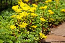 Sedum Acre Plant (stonecrop Or...