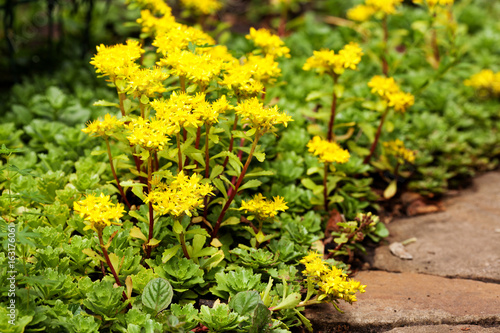 Sedum acre plant (stonecrop or wall-pepper) in bloom with yellow flowers on garden ground near sandstone road Canvas Print
