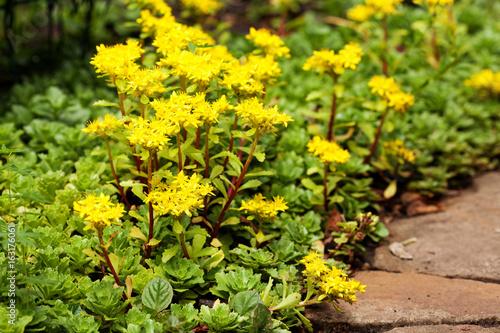 Sedum acre plant stonecrop or wall pepper in bloom with yellow sedum acre plant stonecrop or wall pepper in bloom with yellow flowers on mightylinksfo