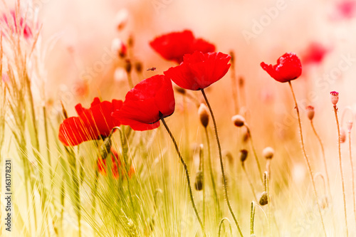 Poster Poppy Red Poppies in a Cornfield