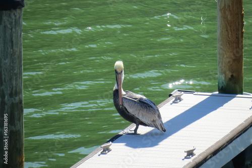 pelican bird sitting on a dock Canvas Print